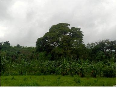 2730 Sqm Farmland in Paradise Valley Subd. Calauan, Laguna For Sale